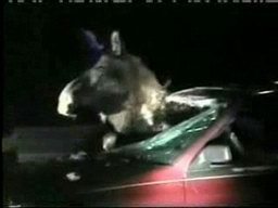 moose stuck in car